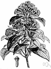 clove tree - moderate sized very symmetrical red-flowered evergreen widely cultivated in the tropics for its flower buds which are source of cloves