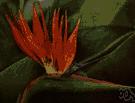 Poinciana pulcherrima - tropical shrub or small tree having showy yellow to orange-red flowers