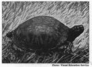 box turtle - chiefly terrestrial turtle of North America