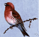Carpodacus purpureus - North American finch having a raspberry-red head and breast and rump