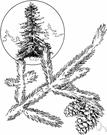 eastern spruce - medium-sized spruce of eastern North America