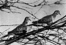 Zenaidura - mourning doves