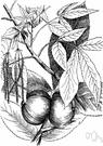 shagbark - North American hickory having loose grey shaggy bark and edible nuts