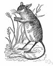 field mouse - any nocturnal Old World mouse of the genus Apodemus inhabiting woods and fields and gardens