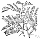 silver wattle - evergreen Australasian tree having white or silvery bark and young leaves and yellow flowers
