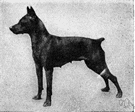 pinscher - any of three breeds of dogs whose ears and tail are usually cropped