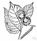 genus Corylus - deciduous monoecious nut-bearing shrubs of small trees: hazel