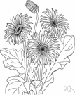 Barberton daisy - widely cultivated South African perennial having flower heads with orange to flame-colored rays