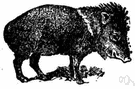 musk hog - nocturnal gregarious pig-like wild animals of North America and South America