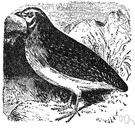 quail - flesh of quail
