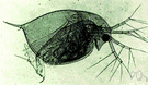 Pulex - type genus of the Pulicidae