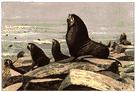 Callorhinus ursinus - of Pacific coast from Alaska southward to California