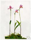 pogonia - any hardy bog orchid of the genus Pogonia: terrestrial orchids having slender rootstocks and erect stems bearing one or a few leaves and a solitary terminal flower