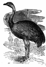 nandu - smaller of two tall fast-running flightless birds similar to ostriches but three-toed