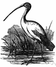 Threskiornis aethiopica - African ibis venerated by ancient Egyptians