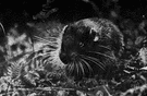 mountain beaver - bulky nocturnal burrowing rodent of uplands of the Pacific coast of North America