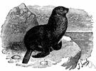 Callorhinus - fur seals