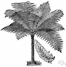 Cyathea - type genus of the Cyatheaceae: tree ferns of the tropical rain forest to temperate woodlands