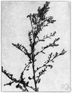 Pigweed - common weedy European plant introduced into North America