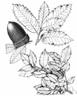 Quercus chrysolepis - medium-sized evergreen of southwestern United States and northwestern Mexico with oblong leathery often spiny-edged leaves