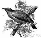 bulbul - nightingale spoken of in Persian poetry