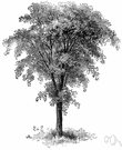 Huntingdon elm - erect vigorous hybrid ornamental elm tree