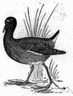swamphen - any of various small aquatic birds of the genus Gallinula distinguished from rails by a frontal shield and a resemblance to domestic hens