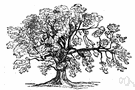 ash tree - any of various deciduous pinnate-leaved ornamental or timber trees of the genus Fraxinus