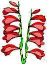 gladiolus - any of numerous plants of the genus Gladiolus native chiefly to tropical and South Africa having sword-shaped leaves and one-sided spikes of brightly colored funnel-shaped flowers