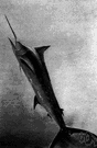 spearfish - any of several large vigorous pelagic fishes resembling sailfishes but with first dorsal fin much reduced