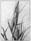 Rush grass - grass having wiry stems and sheathed panicles