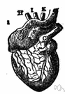 left ventricle - the chamber on the left side of the heart that receives arterial blood from the left atrium and pumps it into the aorta