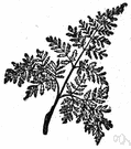 decompound leaf - a leaf having divisions that are themselves compound