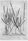 couch grass - European grass spreading rapidly by creeping rhizomes