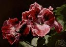 genus Pelargonium - geraniums native chiefly to South Africa