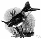Ceryle - a genus of birds of the family Alcedinidae