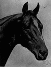 American saddle horse - a high-stepping horse originating in Kentucky