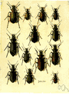 ground beetle - predacious shining black or metallic terrestrial beetle that destroys many injurious insects