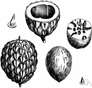 seedpod - a several-seeded dehiscent fruit as e.g. of a leguminous plant