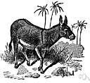 Equus asinus - a wild ass of Africa