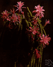 rattail cactus - commonly cultivated tropical American cactus having slender creeping stems and very large showy crimson flowers that bloom for several days