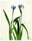 Iris versicolor - a common iris of the eastern United States having blue or blue-violet flowers