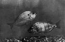 pinfish - similar to sea bream