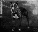 pit bull terrier - American breed of muscular terriers with a short close-lying stiff coat