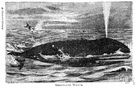 blowhole - the spiracle of a cetacean located far back on the skull