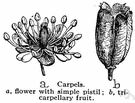 compound pistil - consists of two or more fused carpels