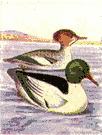 Mergus merganser americanus - common North American diving duck considered a variety of the European goosander