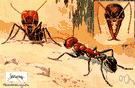 Myrmecia - bulldog ants