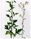 Nabalus - genus of North American and east Asian perennial herbs