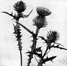 carduus - genus of annual or perennial Old World prickly thistles
